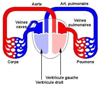 les malformations cardiaques - Circulation sanguine normale